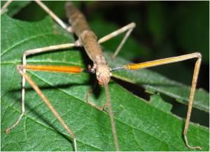 Female Walking Stick