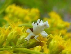 Newly molted ambush bug on goldenrod