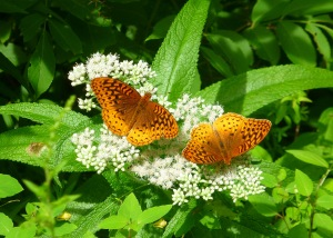 Great Spangled Fritillaries on Boneset