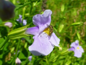 Tiny Syrphid Fly on Winged Monkey Flower