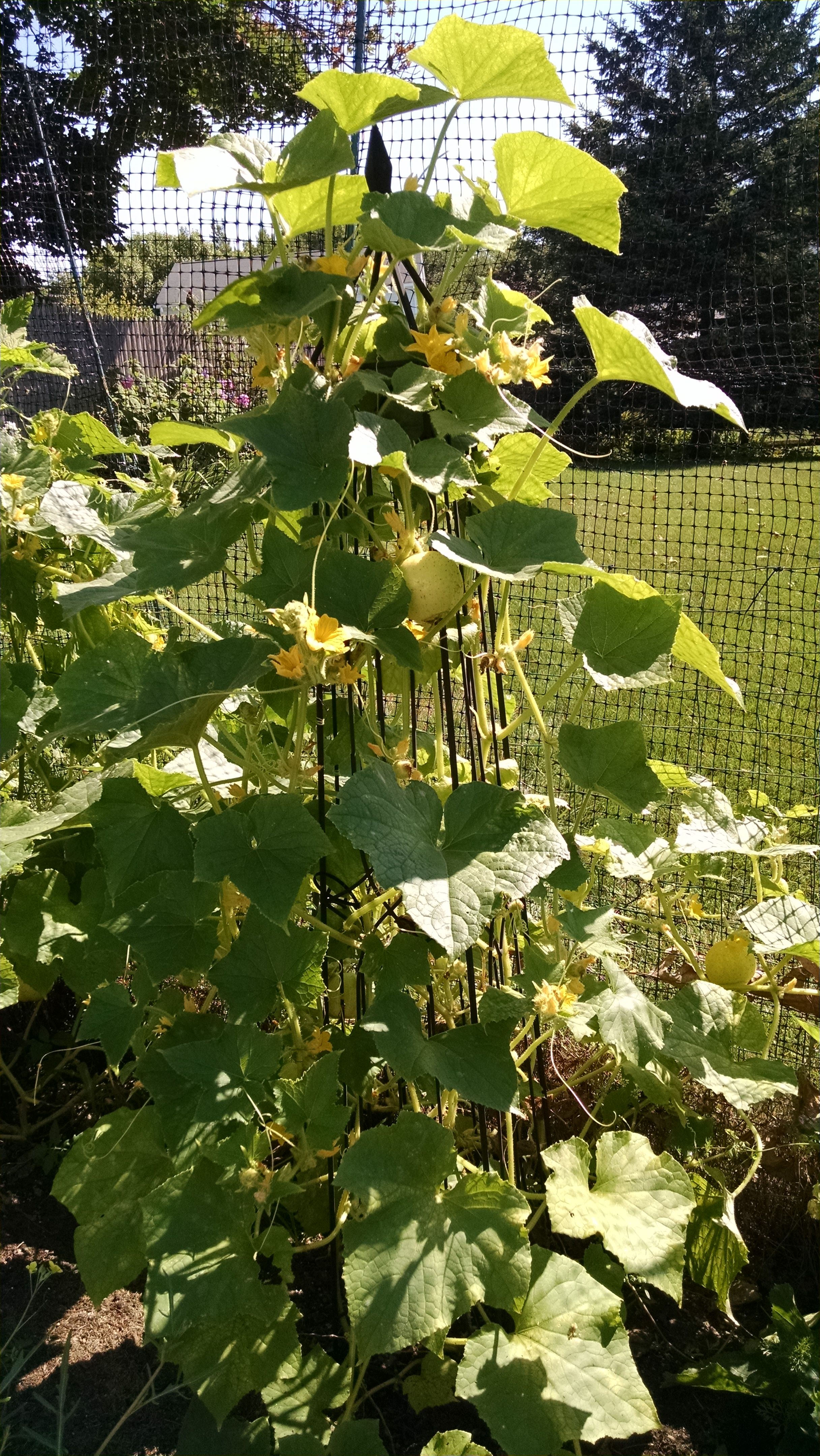 The Cucumbers That I've Grown to Love | Uconnladybug's Blog