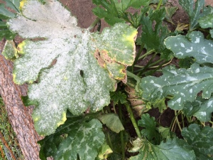 Powdery mildew. J. Allen photo.