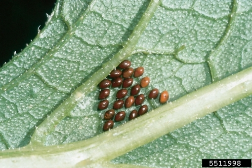 Squash bug eggs on leaf underside. KS Dept. of Agric. Archive, Bugwood.org