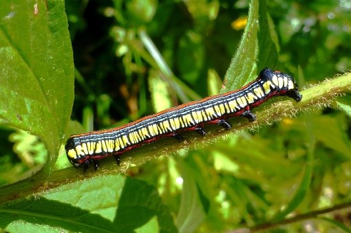 The colorful brown-hooded owlet caterpillar that feed on goldenrod flower buds as well as leaves