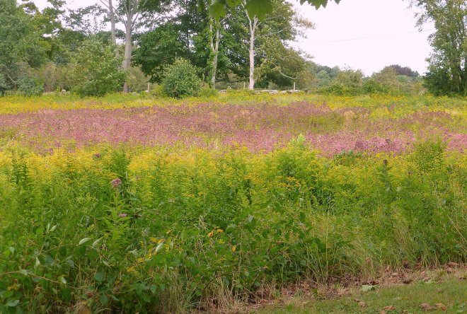 Goldenrods and Spotted Joe-pye at the entrance to Harkness Park in Waterford September14, 2015