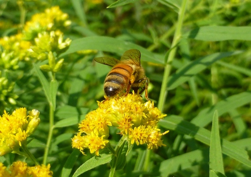 Honey bee on Downy Goldenrod