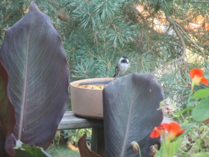 Chickadee on deck waterer
