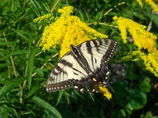 Tiger Swallowtail on Canada Goldenrod