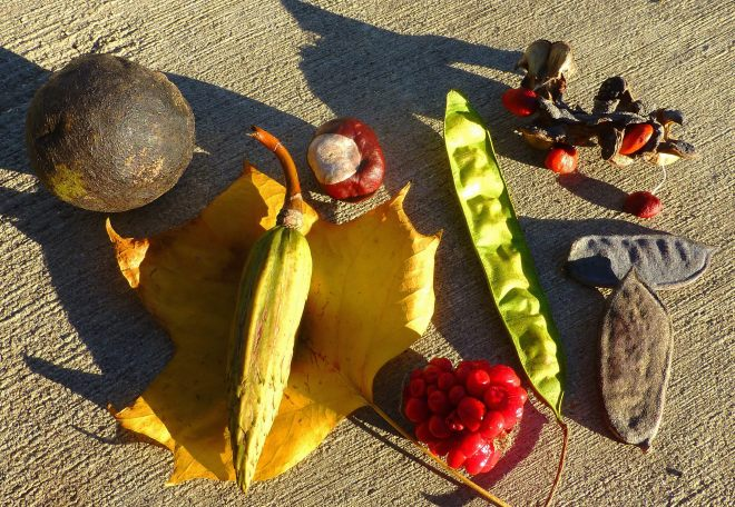 Black walnut, tulip tree leaf and carpels, horse chestnut, Jack-in-the-pulpit berries, mimosa pod, Kentucky coffee tree pods, Saucer magnolia seeds