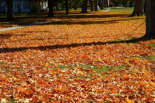 Carpet of leaves from sugar maples
