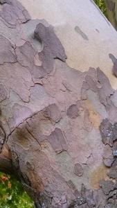 The distinctive sycamore bark