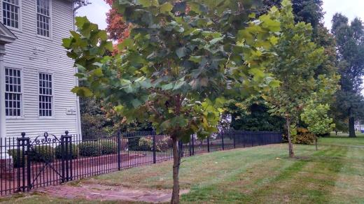 The Gettysburg Sycamore saplings
