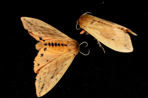 Isabella Moth Adults, photo from purdue.edu