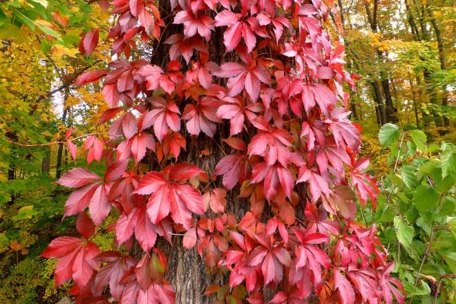 Virginia creeper in the fall