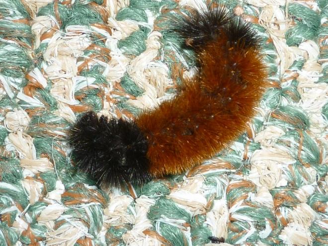 Woolly Bear Caterpillar, photo by c.quish