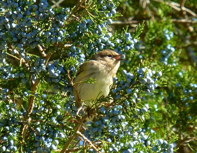 Yellow-rumped warbler feeding on red cedar fruit