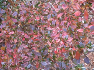 Azalea leaves can be used for winter arrangements.