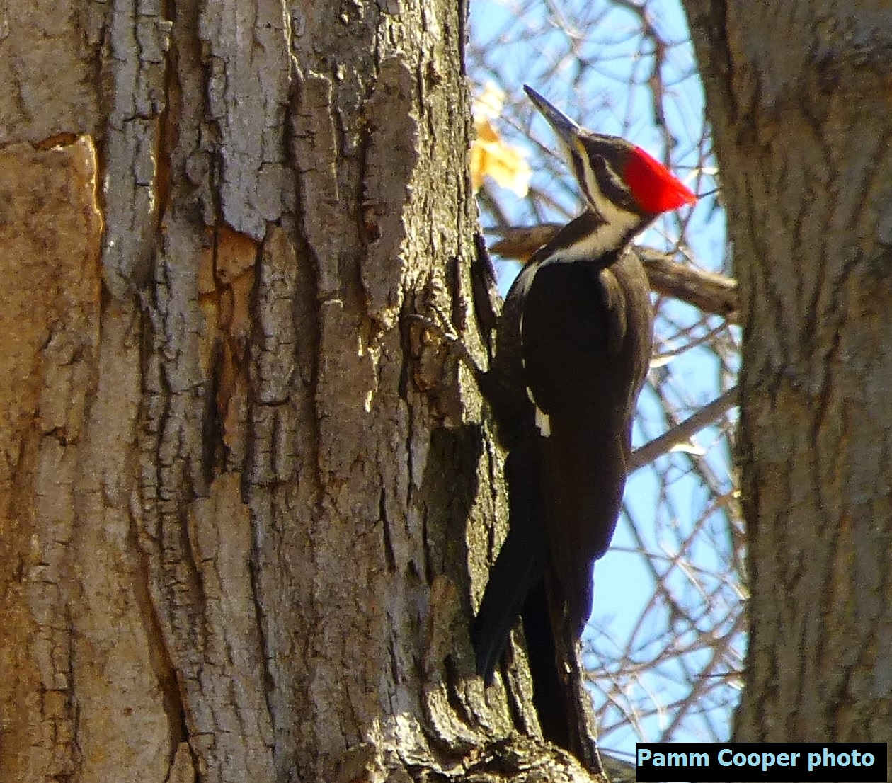 Female pileated copyright 2015