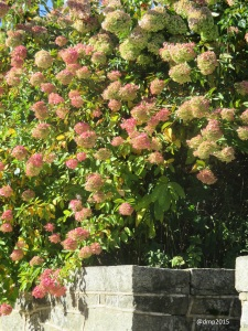 Delicate pink and creams of panicled hydrangea in fall