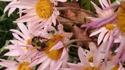 Bee on a pink mum