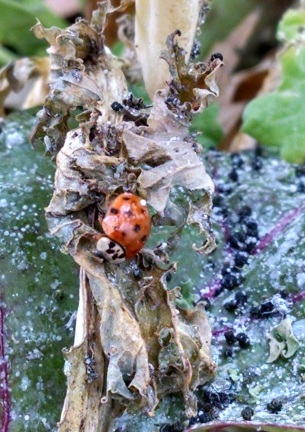 Ladybug eating aphids on kale