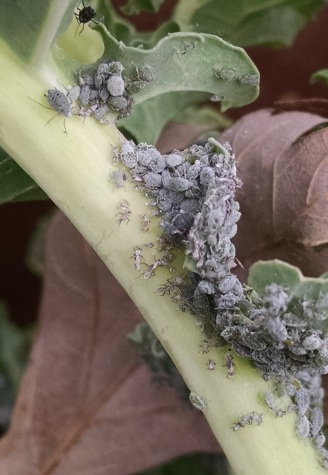 Cabbage aphids on kale