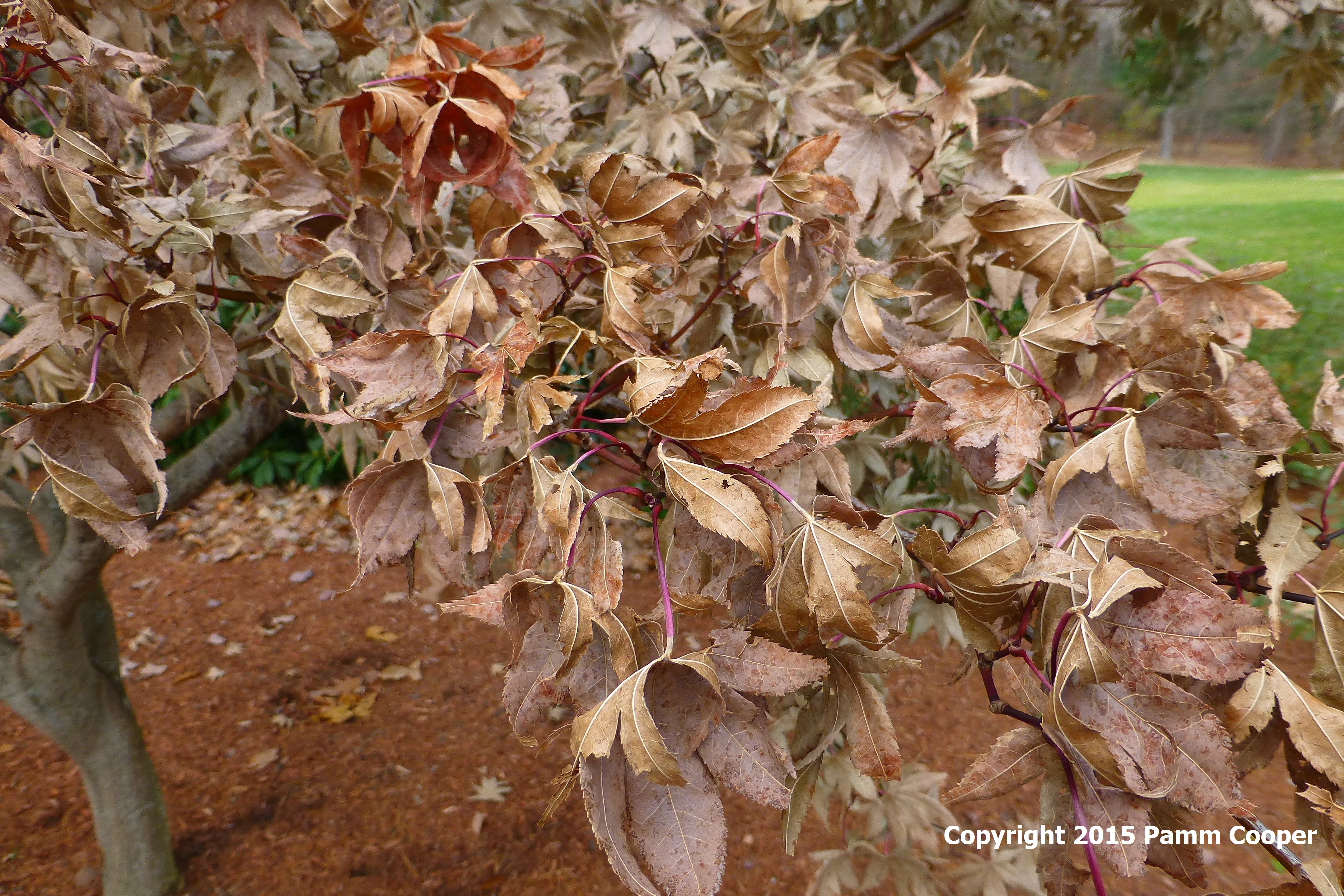 Japanese maple leaves after major cold snap and frost October 2015