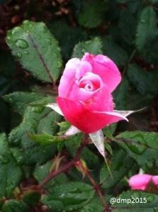 Last rose of summer!