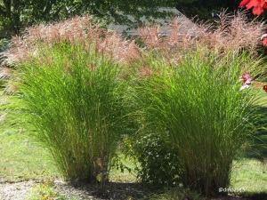The whispy miscanthus plumes dance in the wind.