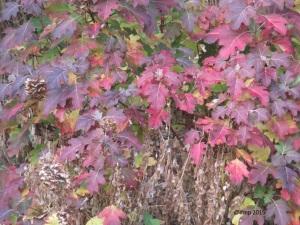 Oak leaf hydrangea in splendid fall colors.