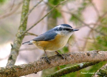 red breasted nuthatch copyright Pamm Cooper