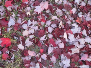 Maple leaves in shades of maroon and silver