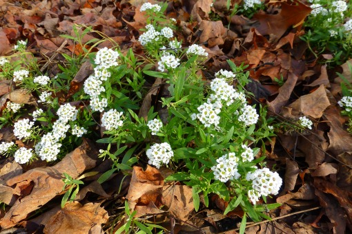 alyssum full bloom December 28 2015