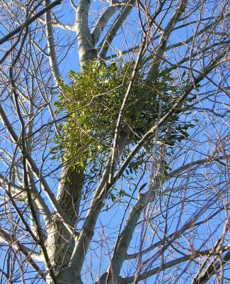 Mistletoe.wikipedia