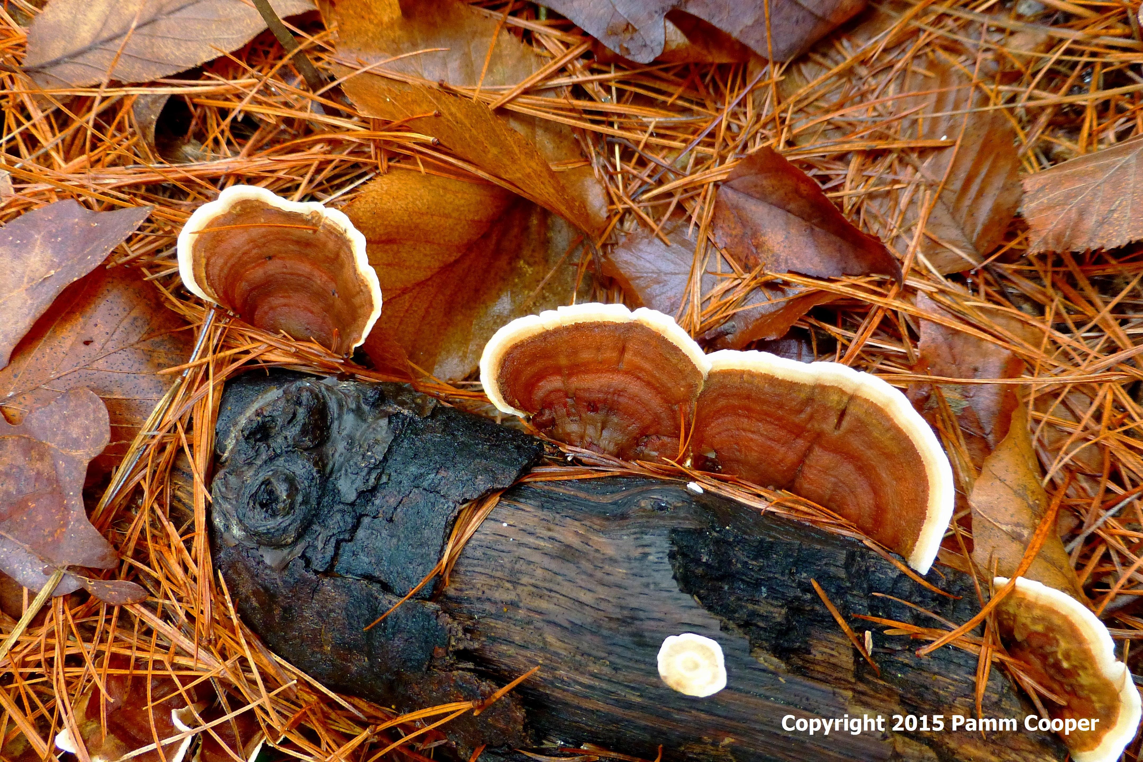 turky tail polypore shelf fungi.