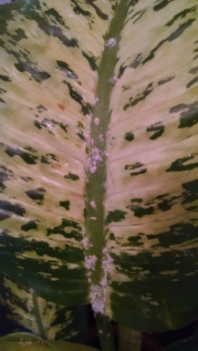 Cottony mass on Dieffenbachia Leaves