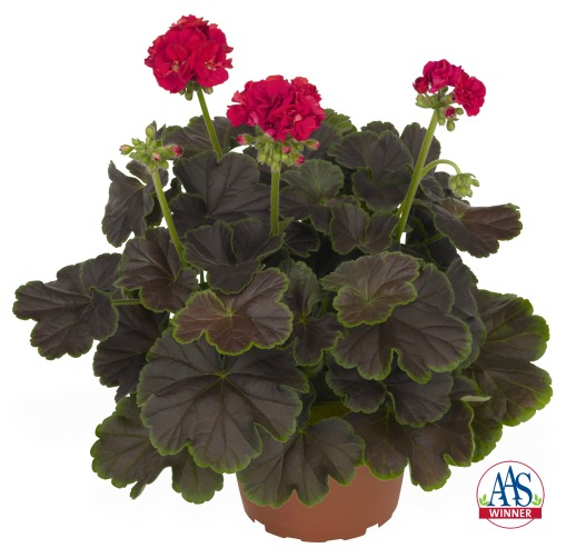Geranium 'Brocade Cherry Night' from www.all-americaselections.org