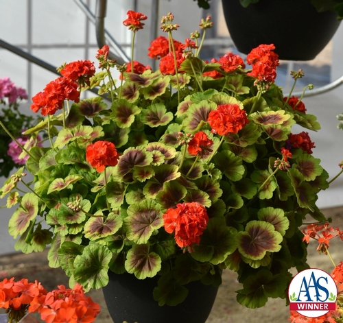 Geranium 'Brocade Fire' from www.all-americaselections.org