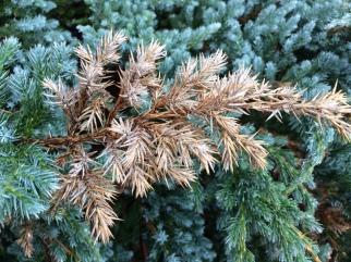 Juniper.sphaeropsis2.JAllen