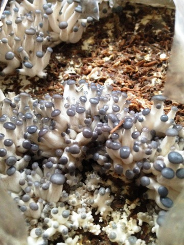 Day 4 spore germination.