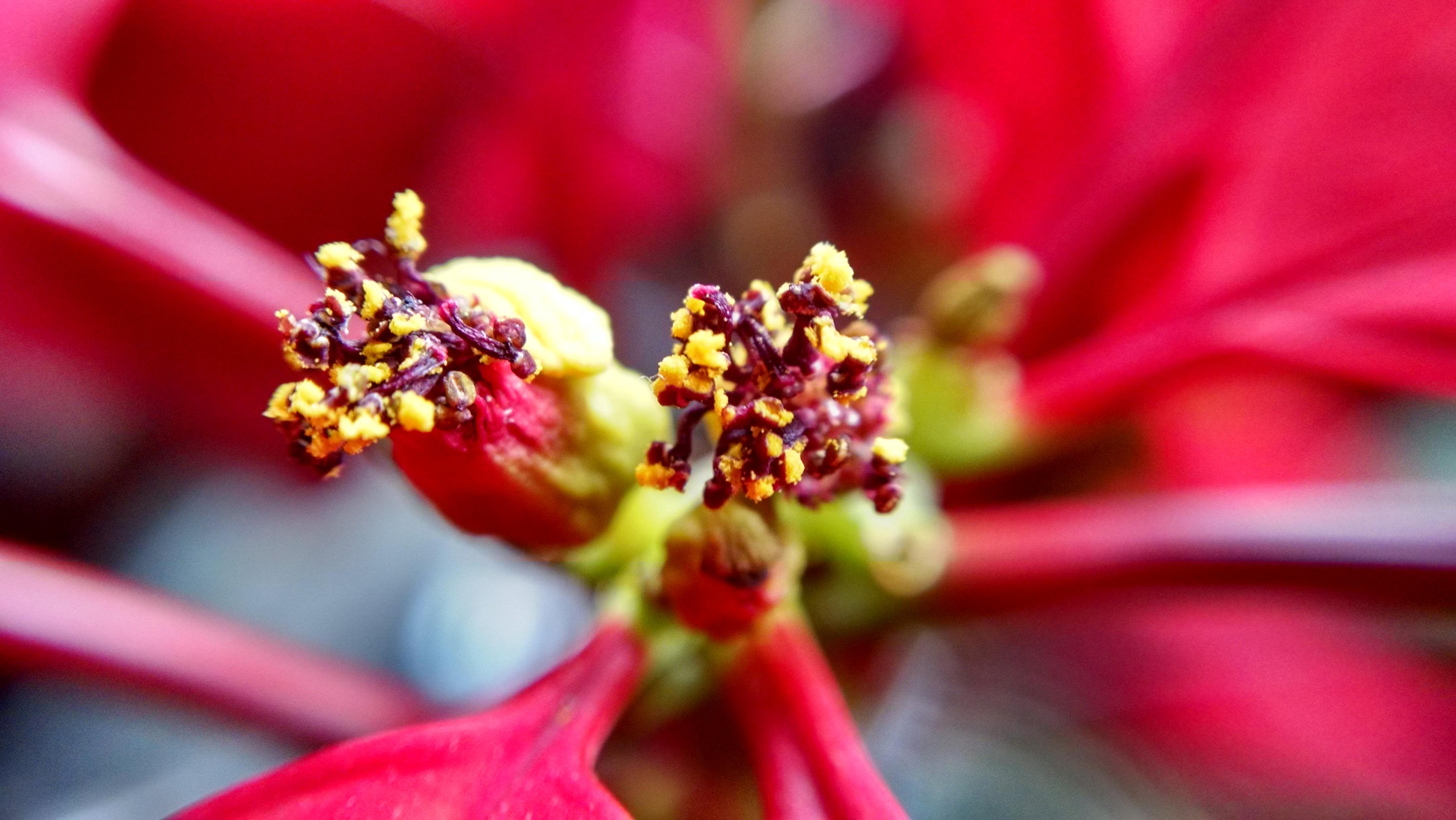 Poinsettia Flowers