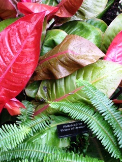 Philodendron 'Flame of Orange'