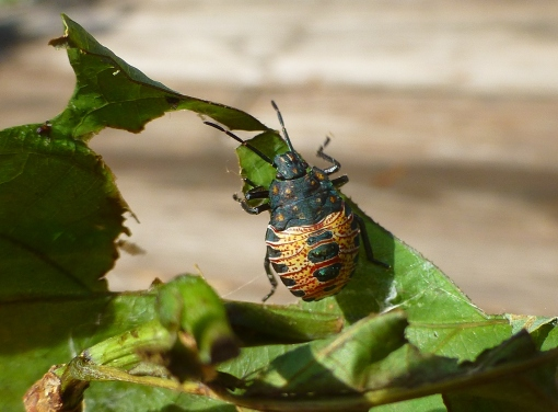 predatory stink bug new instar