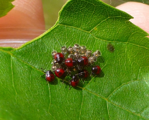 predatory stink bugs hatched 6-11-15