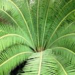 sago palm, cycas