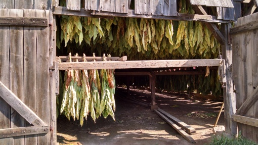 Tobacco in the barn