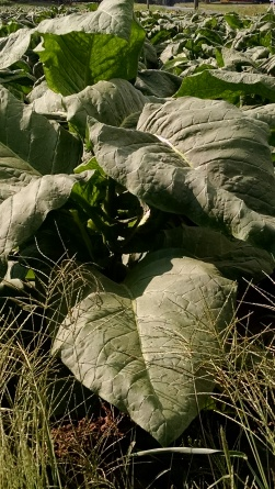 Tobacco plants in the field