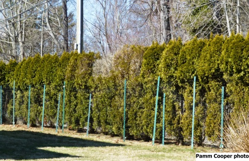 arborvitae protected from deer