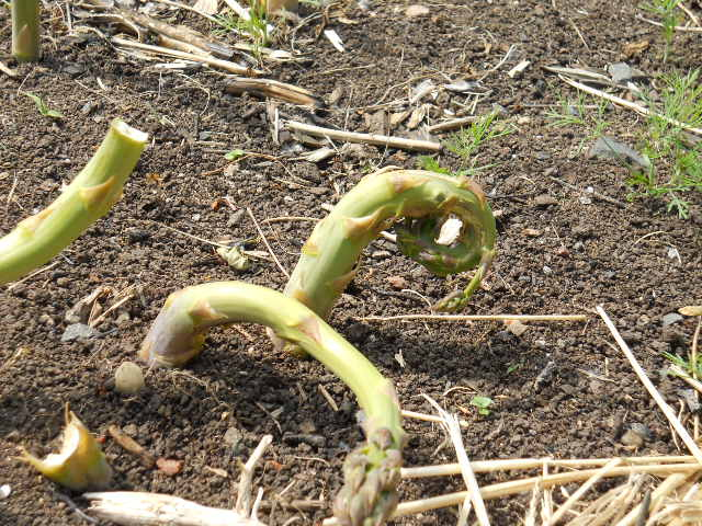 asparagus beetle damage.JPG