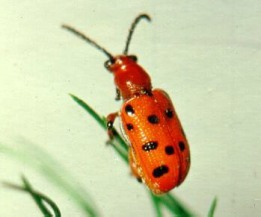 Spotted Asparagus Beetle, photo by Jeff Hahn